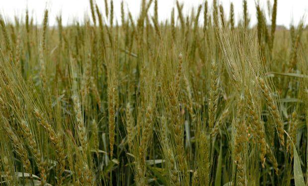 El trigo cae por debajo de los US$ 200: factores alcistas, bajistas y las dudas que inciden en el precio