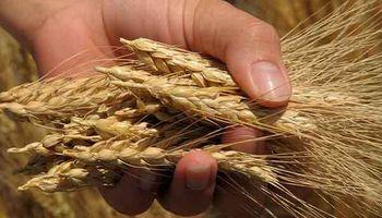 Nuevas bajas en Chicago: el trigo alcanzó un mínimo de dos meses