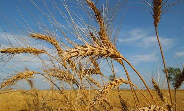 Chicago: importantes bajas para el trigo por lluvias y nevadas en Estados Unidos