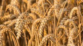 Chicago: importantes subas para el trigo y bajas para soja y maíz en medio de una expectativa de siembra récord