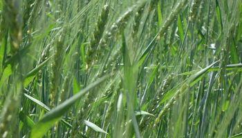 El trigo compra más fertilizante