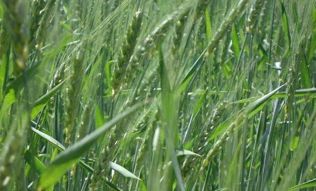 Como hace años no ocurría, el trigo compra mas fertilizante.
