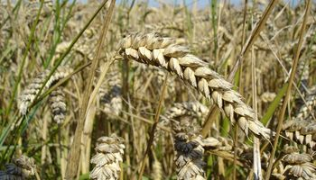 Fuertes subas para el precio del trigo: los factores que inciden actualmente en el mercado