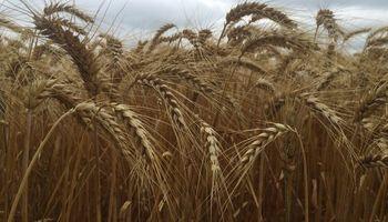 El trigo, a la espera de la demanda brasilera