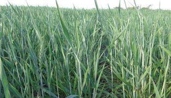 65% de los cuadros de trigo está en encañazón