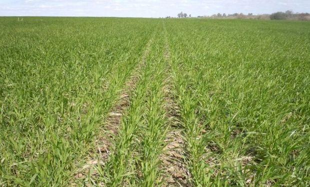 Intenso frío en etapa vulnerable para el trigo en región núcleo.