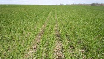 Las lluvias mejoraron las condiciones del trigo