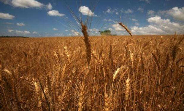 Por los excesos de agua el trigo caería un 15%.