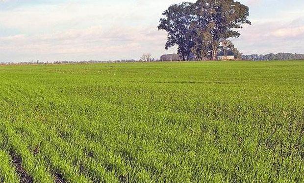 Se espera un aumento en el área de trigo.