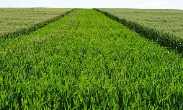Excelente a muy bueno, así crece el 75% del trigo.