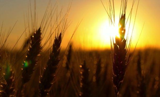 La consultora privada Strategie Grains ubicó la producción de trigo de la Unión Europea en los niveles más bajos de los últimos seis años