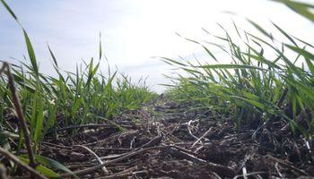 De sembrarse lo pendiente, se podrían cubrir 4,4 M ha con trigo