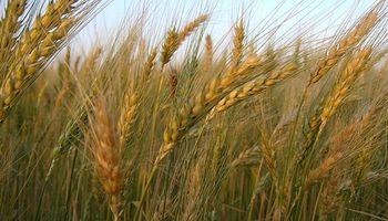 Subas para el trigo de la próxima campaña
