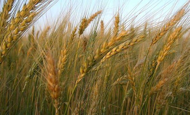 Tras subas muy fuertes para el trigo a lo largo de la semana, el viernes llegó la consabida toma de ganancias.
