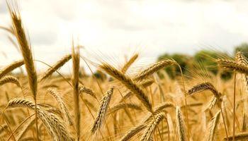 El mejor negocio triguero se originó con cultivares de calidad