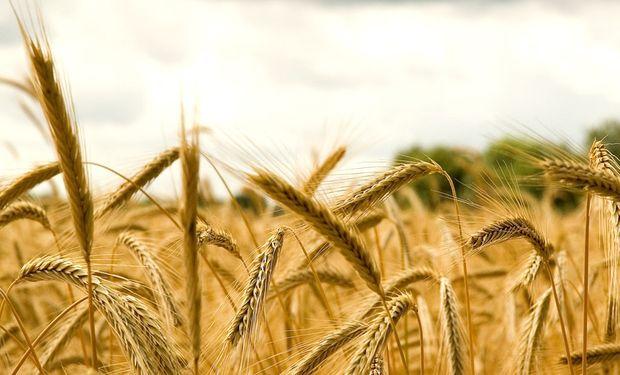 El trigo ayer tocó un valor máximo de un mes.