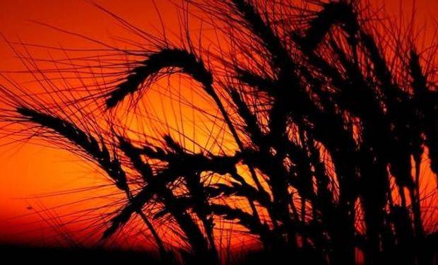 Una de las principales enfermedades del trigo.
