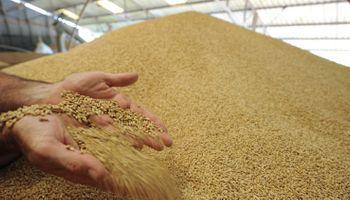 Aseguran que productores no tienen a quien venderle el trigo