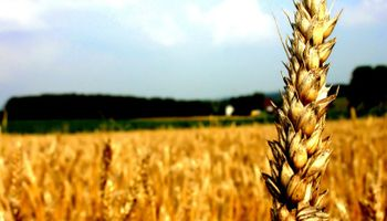Coberturas en trigo cayeron más de un 30%