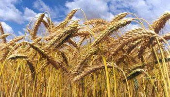 Siembra de trigo caería en picada