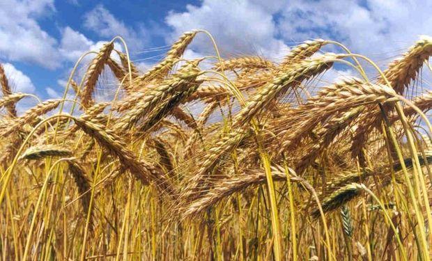 Ante esa realidad, muchos productores han optado por no sembrar trigo en 2015.