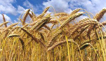 Clima de incertidumbre para el trigo