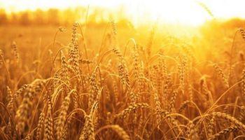 Positivo: el trigo se encamina a demostrar todo su potencial