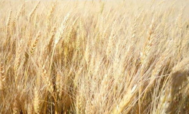 La cosecha podría ser de alrededor de 12-12,5 millones de toneladas pero, seguramente, de mucho mejor calidad que la actual.