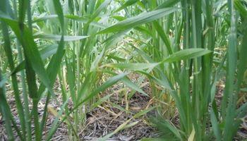 Mercado de trigo, ¿con mejores perspectivas hacia adelante?