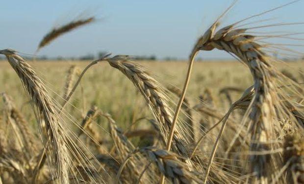 El trigo vuelve a generar expectativas