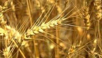 Brasil se prepara para comprar trigo en EE.UU.