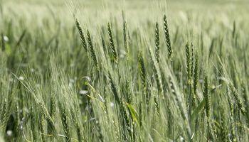 Mercado climático: segunda rueda de subas para el trigo