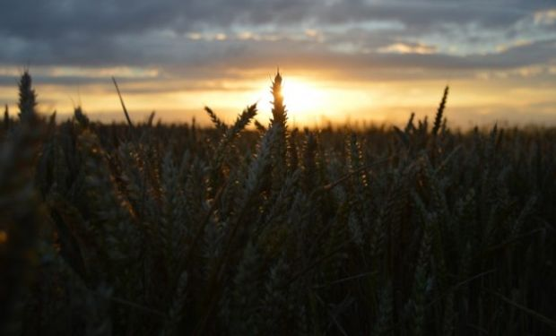 El trigo alcanza un máximo de 11 semanas producto de la seca que afecta a las llanuras trigueras en Estados Unidos.