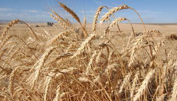 Importantes subas para el trigo: tocó un máximo de un mes