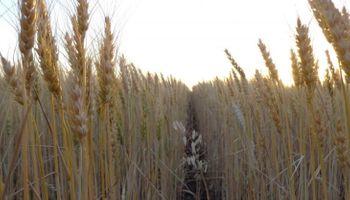 ¿Cómo se comercializa el trigo en Córdoba?
