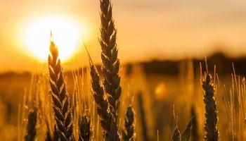 Rebote del trigo en Chicago: ganó US$ 12 en dos jornadas