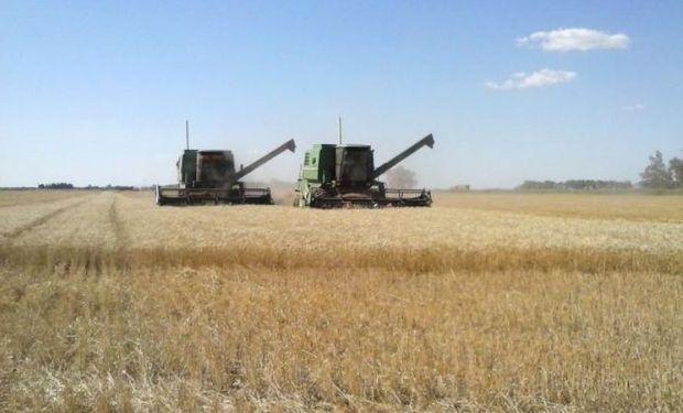 Lote de trigo, con buen desarrollo, uniformidad 100 % y en pleno proceso de cosecha, en el norte del departamento Las Colonias.-