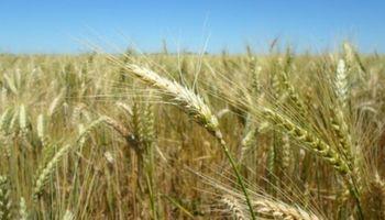¿Cuáles fueron las novedades sobre el fin de ciclo del trigo?