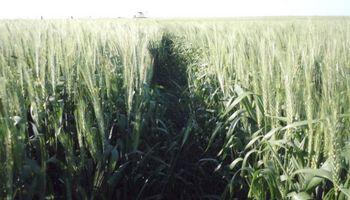 Temperaturas intensas adelantaron el ciclo del trigo