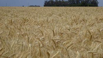 Prevén que suba un 10% la siembra de trigo y recupere su área histórica