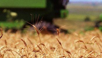 El trigo en Uruguay sintió el efecto de la falta de lluvias