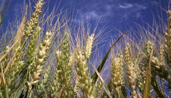 Uruguay: área de trigo es la menor en ocho años