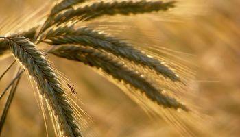 Al trigo sólo le falta un mercado transparente