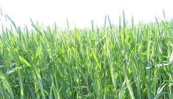 Ajustar la estrategia de producción de trigo