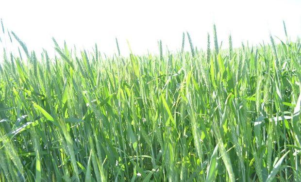 Una de las prácticas que mayor impacto tiene en el cultivo de trigo es la fertilización nitrogenada, en sus etapas tempranas.