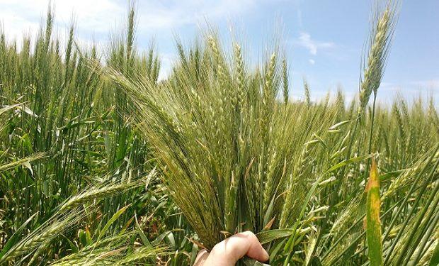La falta de agua impacta sobre la fertilización: ¿Se quiebra el potencial del trigo este año?