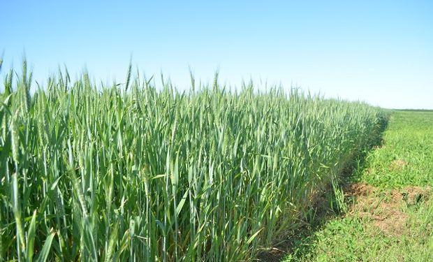 Claves y secretos de la fertilización en el trigo