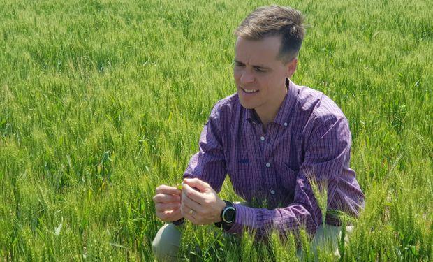 No todas son malas noticias para el trigo y la cebada: se frena la proliferación de enfermedades