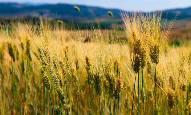 La falta de permisos de exportación no fue el único problema que giró en torno al cultivo de trigo. La calidad del cultivo tampoco acompañó.