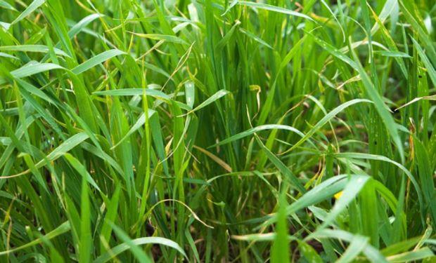 Lluvias decisivas para maíz y trigo